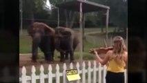 Elefantes bailan al escuchar el violín   Dos elefantes bailan al ritmo del violín (VIDEO)
