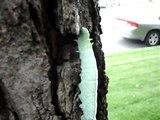 Giant Green Caterpillar