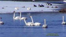 SÅNGSVAN  Whooper Swan  (Cygnus cygnus)  Klipp - 1642