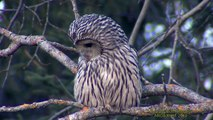 UGGLOR  Owls  (Strigiformes)  Klipp - 1009