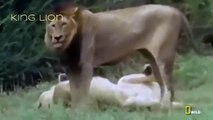Lions Attack Hunters Documentaries National Geographic Wild Animal Documentary HD