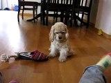 Lily: American Cocker Spaniel Puppy/Cucciola Cocker Spaniel Americano