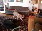 Belgian Malinois Couch Jumping