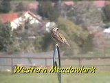 Meadowlark Western / Singing to his Mate