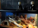 reptile cleaning day. leopard gecko and crested gecko get nice, clean tanks