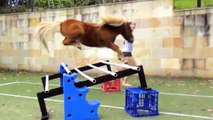 """MINIATURE HORSE """"FREE JUMPING""""!!! Its Crunch Time (CHAMPION)"""
