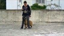 Dressage chien tunisie obéissance FLAYER Malinois