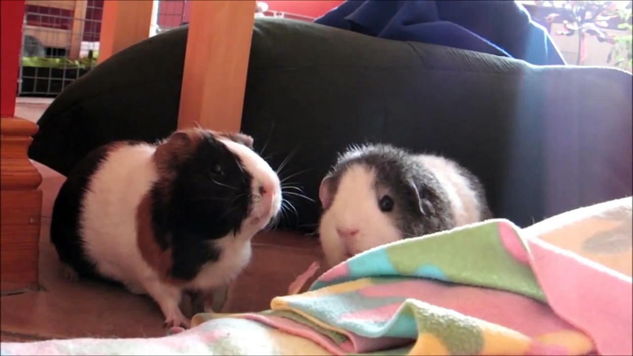 Investigating Guinea Pigs