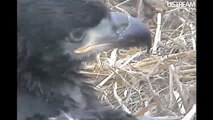 Decorah Eagles Faces of the Young Eaglets  May 9, 2011