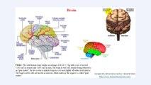 EEG, brain, human brain, brain lobes