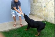 Rottweiler Adestramento - Controle de comportamento