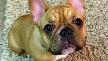 AVA Red Tri French Bulldog Puppy Thanksgiving 11-28-13-Aristocrat's French Bulldogs