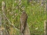 Coucou gris ,juvénile-  Cuckoo - Kuckuck  ( Cuculus canorus )