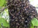 Abeilles. Danse des abeilles sur un essaim