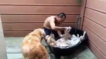 Un golden retriever prend son bain