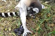 Twins Born  Ring-tailed lemur  Gives Birth to Twin in Thailand 2