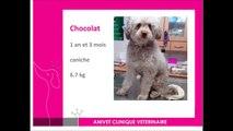 Cas de diabète insipide central chez un chien : Chocolat