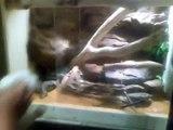 coastal carpet python eating rabbit.mp4