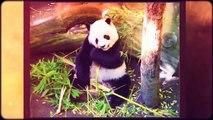 Panda facts for kids | giant | bear | fun facts about Pandas |best |top