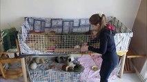 Nettoyage de la cage de mes cochons d'inde