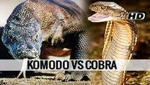 KOMODO VS COBRA - Animal vs Animal [HD]