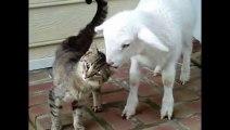 Katze und Lamm sind beste Freunde _ Freunde fürs Leben ◄◄◄ (480p)