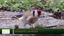 Atmosphère #16 - Chardonneret élégant - Goldfinch (Carduelis carduelis)