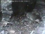 SWR Uhu Eifel 2013-11-08 17:01  beide Uhus rufen, Männchen in der Brutnische