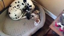 Une maman dalmatien adopte des bébés chats