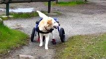 Walkin Wheels Dog Wheelchair Yellow Lab handicapped disabled IDD Intervertebral Disk Disease