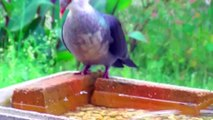 White-Headed Pigeons drinking by sucking up water