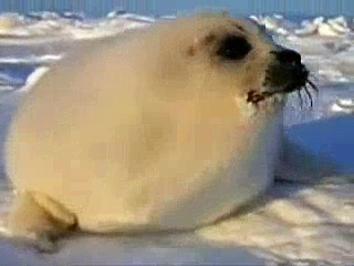Against Seal Hunting! (German)