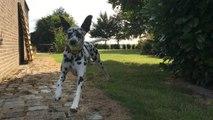 Dalmatian runs in Slow Motion - Dalmatien court au Ralenti [1080p60]