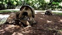 Mauritius, Flic en Flac, Turtle am Poppen, Schildkröten-Sex