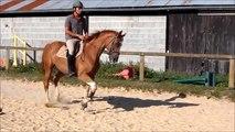 New Deal La Garette -  cheval à vendre cce/cso