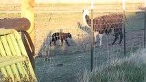 2011 Yak Calves - Yak Calf Bonding