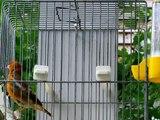 European Goldfinch(Carduelis carduelis) X Canary