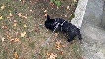 Griffin, bouledogue français, se balade dans le jardin (4 mois)