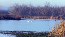 Trumpeter Swans with Hundreds of Ducks at Chico Oxidation Ponds
