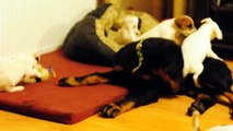 Parson russell terrier & beauceron puppies