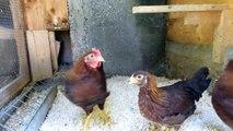 Beringen von Hühnern - Bundesring und Spiralring