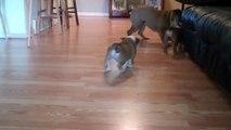 English Bulldog puppies yelling and barking at our 7 month old English Bulldog!