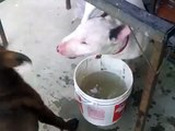 Bull Terrier Vs Pit bull Red Nose fighting for the water