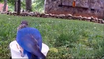 Blue Birds Feeding Babies Mealworms