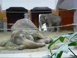 Asian Elephants Munich Zoo - Asiatische Elefanten Tierpark Hellabrunn