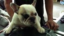 DJ Greyboy's french bulldog DJ MAMA Scratch pt. 4...her skills are sharpening!! DOG scratching