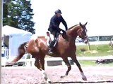 Regular Hunter Fortissimo Traverse City Equitation Horse for Sale