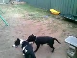 Melvin the bull terrier Jack Russel cross plays with Rocky The Staffy