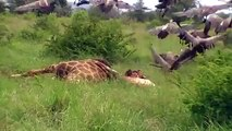 Kruger Park South Africa - Vultures and lion at giraffe carcas