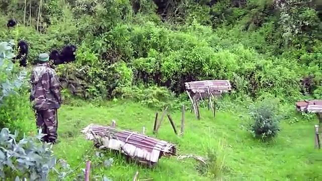 Gorillas Visit a Honey Bee Colony